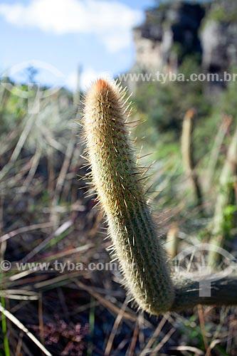 Detalhe de cacto no Parque Estadual do Ibitipoca  - Lima Duarte - Minas Gerais (MG) - Brasil