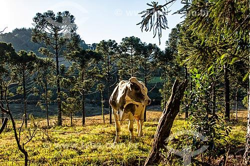 Gado no pasto no distrito de Linha Babenberg  - Treze Tilias - Santa Catarina - Brazil