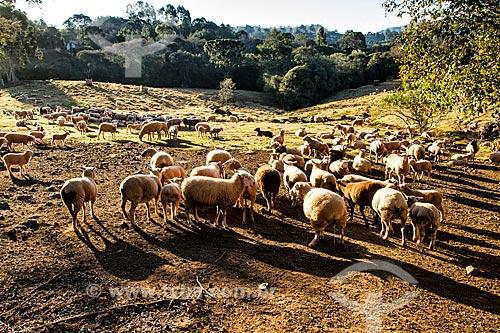 Criação de ovelha no distrito de Linha Babenberg  - Treze Tilias - Santa Catarina - Brazil