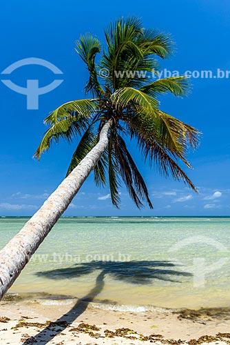 Coqueiro na orla da Praia de Moreré  - Cairu - Bahia (BA) - Brasil