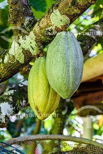 Detalhe de cacau ainda no cacaueiro (Theobroma cacao) próximo à Cachoeira do Cleandro  - Itacaré - Bahia (BA) - Brasil