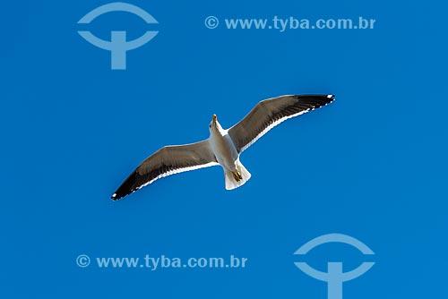 Detalhe de gaivotão (Larus dominicanus) na orla da Praia da Foca  - Armação dos Búzios - Rio de Janeiro (RJ) - Brasil