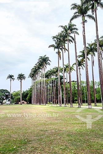Palmeiras imperiais no Parque da Cidade Roberto Burle Marx  - São José dos Campos - São Paulo (SP) - Brasil