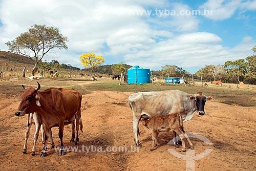 Gados leiteiro e bezerros em fazenda na zona rural da cidade de Vargem Bonita  - Vargem Bonita - Minas Gerais (MG) - Brasil