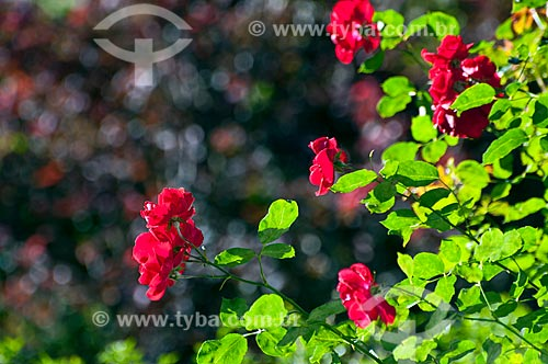 Detalhe de roseira em Campos de Cima da Serra  - São Francisco de Paula - Rio Grande do Sul (RS) - Brasil