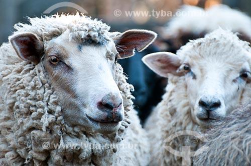 Detalhe de ovelhas da raça crioula em fazenda  - São Francisco de Paula - Rio Grande do Sul (RS) - Brasil