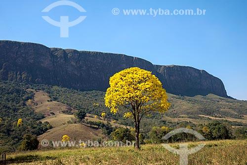 Ipê-Amarelo na zona rural da cidade de São Roque de Minas  - São Roque de Minas - Minas Gerais (MG) - Brasil