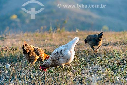 Detalhe de galinha caipira (Gallus gallus domesticus)  - São Roque de Minas - Minas Gerais (MG) - Brasil