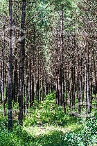 Plantação de Pinheiro  - Canela - Rio Grande do Sul (RS) - Brasil