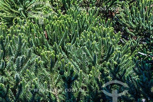 Detalhe de folhas de pinheiro  - Canela - Rio Grande do Sul (RS) - Brasil