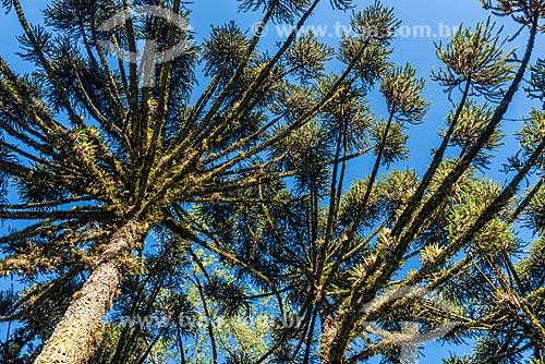 Detalhe de araucária (Araucaria angustifolia) no parque do Lago Negro  - Gramado - Rio Grande do Sul (RS) - Brasil