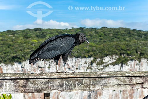 Detalhe de urubu-de-cabeça-preta (Coragyps atratus) no Parque Nacional dos Aparados da Serra  - Cambará do Sul - Rio Grande do Sul (RS) - Brasil