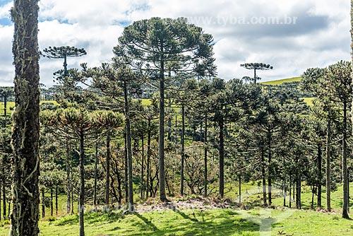 Vista de araucárias (Araucaria angustifolia)  - São José dos Ausentes - Rio Grande do Sul (RS) - Brasil