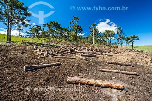Vista de área de araucárias (Araucaria angustifolia) desmatada  - São José dos Ausentes - Rio Grande do Sul (RS) - Brasil