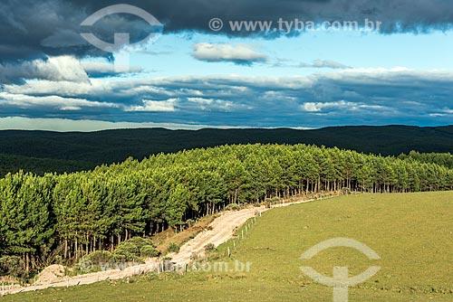 Vista de Pinheiros próximo à cidade de São José dos Ausentes  - São José dos Ausentes - Rio Grande do Sul (RS) - Brasil