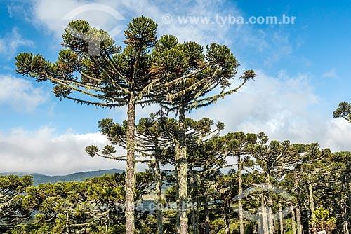 Vista de araucárias (Araucaria angustifolia) próximo à cidade de Urubici  - Urubici - Santa Catarina (SC) - Brasil
