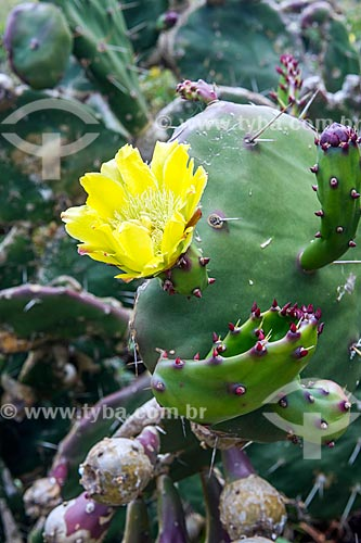 Detalhe de flor de cacto na orla da Praia Mole  - Florianópolis - Santa Catarina (SC) - Brasil