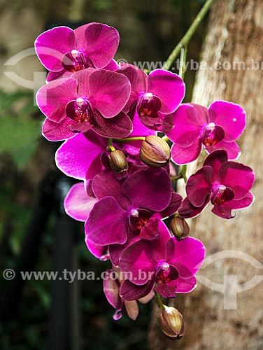 Detalhe de orquídea  - Niterói - Rio de Janeiro (RJ) - Brasil