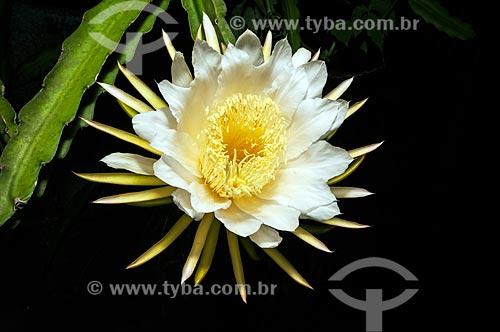 Detalhe de flor do cacto rainha-da-noite (Hylocereus undatus)