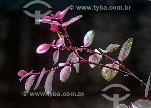 Detalhe de mil-cores (Breynia nivosa)  - Niterói - Rio de Janeiro (RJ) - Brasil