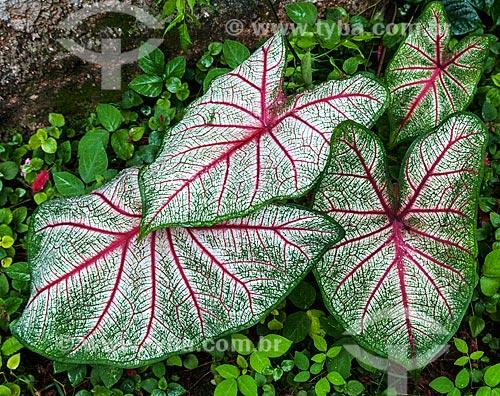 Detalhe de tinhorão (Caladium bicolor)  - Niterói - Rio de Janeiro (RJ) - Brasil