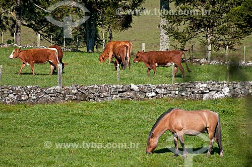 Rebanho no pasto de fazenda na zona rural da cidade de São Francisco de Paula  - São Francisco de Paula - Rio Grande do Sul (RS) - Brasil