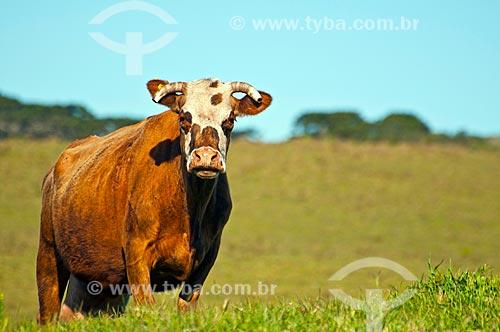 Detalhe de gado no pasto de fazenda na zona rural da cidade de São Francisco de Paula  - São Francisco de Paula - Rio Grande do Sul (RS) - Brasil