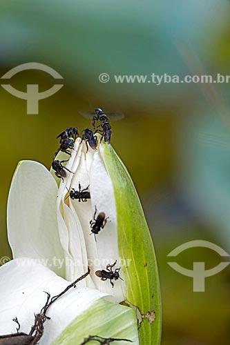 Detalhe de abelha preta (Trigona spinipes) - também conhecida com Irapuã - no Horto Florestal Municipal Edmundo Navarro de Andrade  - Rio Claro - São Paulo (SP) - Brasil