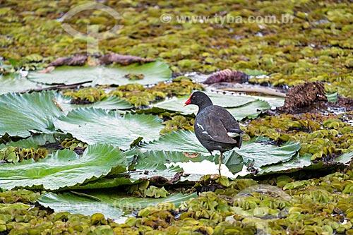 Frango-dágua-comum (Gallinula galeata) no lago do Horto Florestal Municipal Edmundo Navarro de Andrade  - Rio Claro - São Paulo (SP) - Brasil