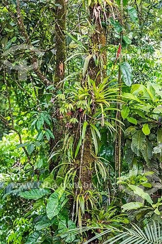Bromélia em tronco de árvores na Área de Proteção Ambiental da Serrinha do Alambari  - Resende - Rio de Janeiro (RJ) - Brasil