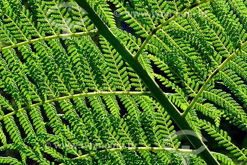 Detalhe de folhas de samambaiaçu (Dicksonia selowiana)  - Campos do Jordão - São Paulo (SP) - Brasil