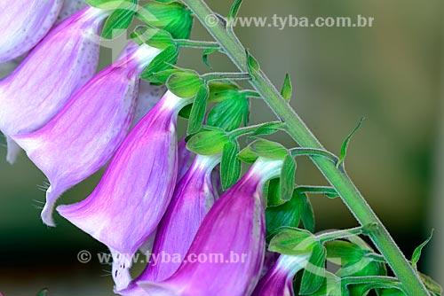 Detalhe de dedaleira (Digitalis purpurea) - também conhecida como campainha  - Campos do Jordão - São Paulo (SP) - Brasil