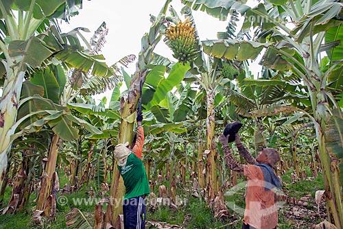 Trabalhadores rurais colhendo banana em plantação na Região do Cariri  - Barbalha - Ceará (CE) - Brasil