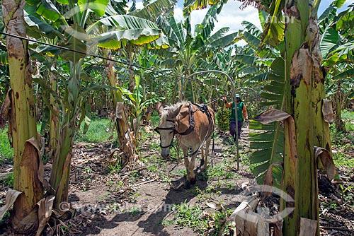 Detalhe de jumento puxando cabos com cachos de bananas em plantação na Região do Cariri  - Barbalha - Ceará (CE) - Brasil