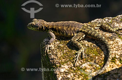 Detalhe de calango (Tropidurus torquatus)  - Guarani - Minas Gerais (MG) - Brasil
