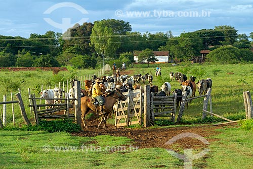 Boiadeiros conduzindo o gado na zona rural da cidade de Montes Claros  - Montes Claros - Minas Gerais (MG) - Brasil