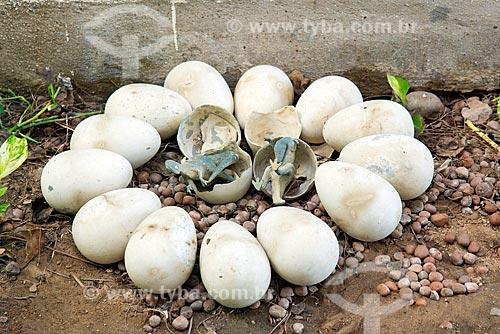 Réplica de ovos de dinossauros no Monumento natural do Vale dos Dinossauros  - Sousa - Paraíba (PB) - Brasil