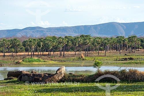 Plantação de carnaúba (Copernicia prunifera) próximo ao Rio Santo Antônio  - Cajazeiras - Paraíba (PB) - Brasil