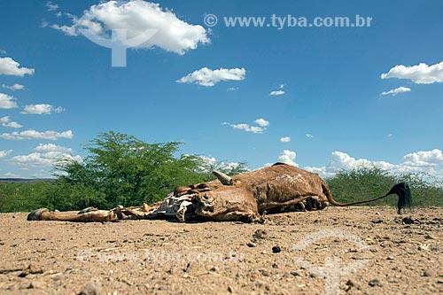 Detalhe de gado morto pela seca  - Mauriti - Ceará (CE) - Brasil