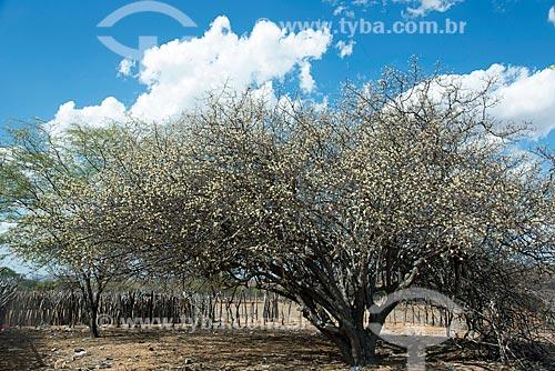 Umbuzeiro (Spondias tuberosa L.) florido  - Floresta - Pernambuco (PE) - Brasil