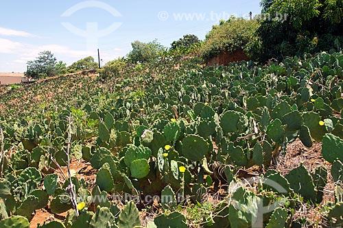 Plantação de palma (Opuntia cochenillifera)  - Santa Cruz da Baixa Verde - Pernambuco (PE) - Brasil