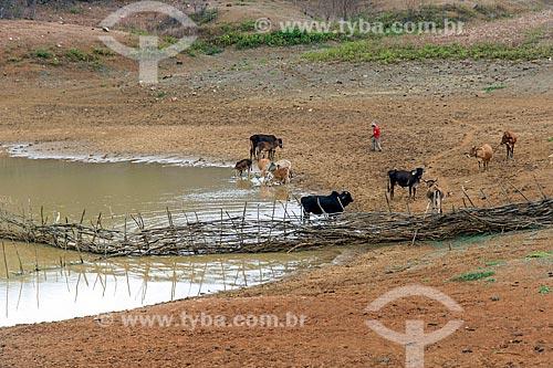 Criação de gado às margens de açude  - Manaíra - Paraíba (PB) - Brasil