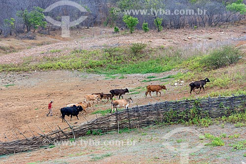 Criação de gado na zona rural da cidade de Manaíra  - Manaíra - Paraíba (PB) - Brasil