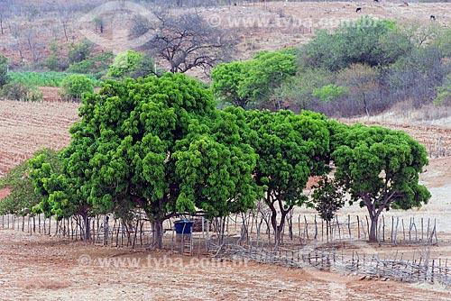 Mangueiras (Mangifera indica L) em região de caatinga  - Manaíra - Paraíba (PB) - Brasil