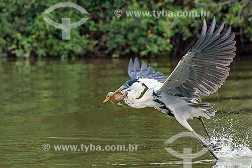 Detalhe de garça-moura (Ardea cocoi) pescando no Pantanal  - Mato Grosso (MT) - Brasil