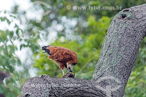 Detalhe de gavião belo (Busarellus nigricollis) comendo no Pantanal  - Mato Grosso (MT) - Brasil