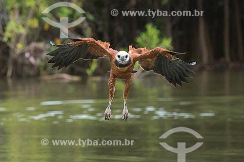 Detalhe de gavião belo (Busarellus nigricollis) no Pantanal  - Mato Grosso (MT) - Brasil