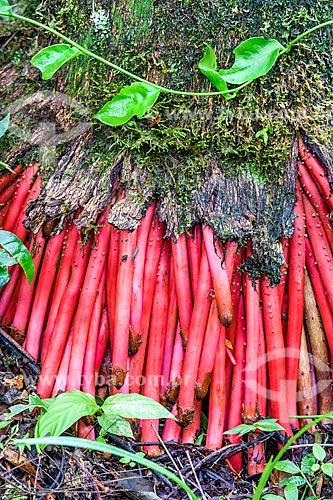 Detalhe de raízes da Içara (Euterpe edulis Martius) - também conhecida como juçara, jiçara ou palmito-juçara - na Área de Proteção Ambiental da Serrinha do Alambari  - Resende - Rio de Janeiro (RJ) - Brasil