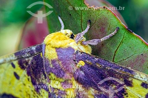 Detalhe de mariposa Eacles imperialis magnifica na Área de Proteção Ambiental da Serrinha do Alambari  - Resende - Rio de Janeiro (RJ) - Brasil