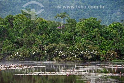 Vista geral de lago na Reserva Ecológica de Guapiaçu com bando de garça-vaqueira (Bubulcus ibis)  - Cachoeiras de Macacu - Rio de Janeiro (RJ) - Brasil